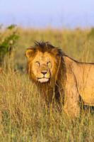 African Lion (Panthera leo), male standing in tall grass, Maasai Mara National Reserve, Kenya, Africa.