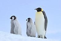 Emperor penguins, Aptenodytes forsteri, with two Chicks, Snow Hill Island, Antartic Peninsula, Antarctica.