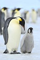 Emperor penguins, Aptenodytes forsteri, with a Chick in Penguin Colony, Snow Hill Island, Antartic Peninsula, Antarctica.
