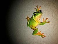 Green tree frog on a grey wall at night.