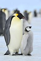 Emperor penguins, Aptenodytes forsteri, with a Chick, Snow Hill Island, Antartic Peninsula, Antarctica.