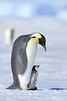 Emperor penguins, Aptenodytes forsteri, Adult Protecting her Chick on her Feet, Snow Hill Island, Antartic Peninsula, Antarctica.