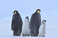 Emperor penguins, Aptenodytes forsteri, Pair with Chicks, Snow Hill Island, Antartic Peninsula, Antarctica.