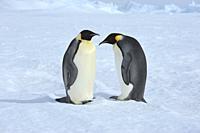 Emperor penguins, Aptenodytes forsteri, Two Adults, Snow Hill Island, Antartic Peninsula, Antarctica.