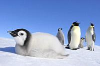 Emperor penguins, Aptenodytes forsteri, Chick is Lying on Ice, Snow Hill Island, Antartic Peninsula, Antarctica.