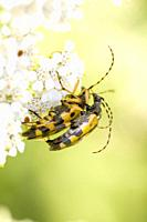 Spotted Longhorn, Leptura maculata. Rutpela maculata, Strangalia maculata. Body size; 18-24mm. Bright yellow and black Longhorn Beetle with yellow and...