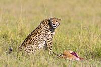 Cheetah (Acinonyx jubatus) with Thomson's Gazelle Prey, Maasai Mara National Reserve, Kenya, Africa.