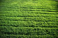 Top view of a field of newborn green wheat.