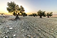 Sunrise at the olive grove in Pinto. Madrid. Spain. Europe.