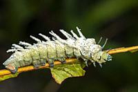 Caterpillar found at Kampung Apar, Sarawak, Malaysia