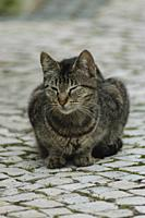 Tabby Cat sitting on paving stones.