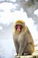 Snow monkey in Jigokudani National Park, Nagano, Japan, Asia.