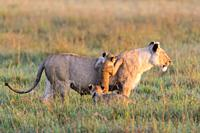 African Lion (Panthera leo) female with cubs, Maasai Mara National Reserve, Kenya, Africa.