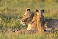 African Lion (Panthera leo) female with cub, Maasai Mara National Reserve, Kenya, Africa.