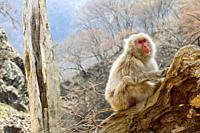 Jigoku-dani Snow Monkey Park, Japan Alps, Japan.