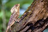 Helmeted iguana (Corytophanes cristatus) [Captive Specimen] - La Laguna del Lagarto Eco-Lodge, Boca Tapada, Costa Rica.