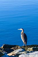Great Blue Heron standing on a rock against a blue ocean background at Gary Point Park in Steveston British Columbia Canada