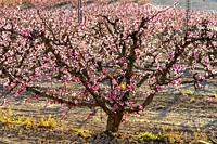 Flowering. Peach trees in bloom. Cieza. Murcia. Spain.