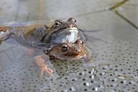 Frog (Rana arvalis), Stockholm, Sweden.
