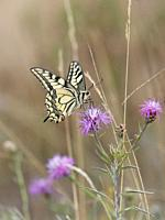 Swallowtail Papilio machaon. Navelso, Smaland, Sweden.