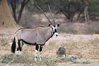 Oryx (Gemsbok) antelope, Okonjima Nature Reserve, Namibia