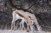 Females of springbok, Okonjima Nature Reserve, Namibia