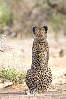 Portrait of sitting Cheetah, Okonjima Nature Reserve, Namibia