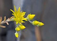 Sedum amplexicaule ssp. tenuifolium, Crete.