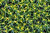Euphorbia acanthothamnos – Greek spiny spurge, Crete.