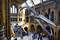 Suspended blue whale skeleton, Hintze Hall, Natural History Museum, Kensington, London, England