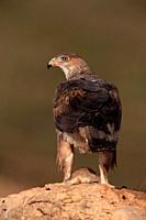 Bonelli's eagle (Hieraaetus fasciautus) in the Serranos region. Valencia. Spain.