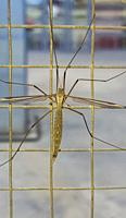 Crane fly, commonly mistaken as dangerous mosquito. Perched on wire fence.