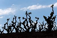 Vineyards and landscapes around Badarán, La Rioja, Spain.