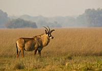 Roan antelope (Hippotragus equinus) in Busanga Plains. Kafue National Park.