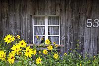 blooming aster flowers in front of a lattice window, Black Forest house in Menzenschwand, near St. Blasien, district Waldshut.