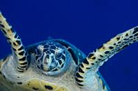 Hawksbill Turtle (Eretmochelys imbricata) swimming, Pulau Suanggi dive site, Ambon, Maluku (Moluccas), Indonesia.