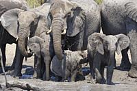African bush elephants (Loxodonta africana), herd with calves at a muddy waterhole, Kruger National Park, South Africa, Africa.