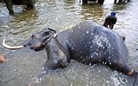 Sri Lanka: The Elephants of the Phinawela Sanctuary are taking a refreshing bath in the nearby river.