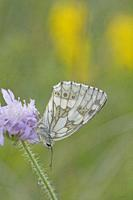 "Marbled White, Melanargia galathea. Distinct white butterfly with black marbled markings. Wingspan: 46â. ""56mm. Found in tall grassland, forest edges,..."