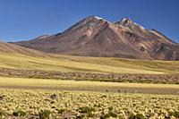 Vicuñas grazing on the altiplano, Atacama Desert, Chile.