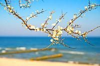 Baltic sea, pear blossom on a beach promenade.