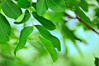 Walnut Leaves Isolated in garden.