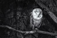 Black and white image of a Barn owl (Tyto alba) sitting on a perch.