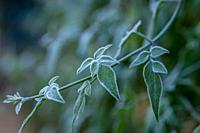 Ice crystals (hoar frost) on green plant leaves.