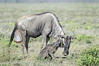 Blue Wildebeest (Connochaetes taurinus) mother with a new born calf trying to stand on savanna, Ngorongoro conservation area, Tanzania.