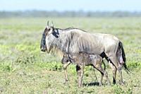 Blue Wildebeest (Connochaetes taurinus) mother with a new born calf already walking on savanna, Ngorongoro conservation area, Tanzania.