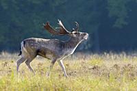 Belling Fallow Deer at Rutting Season, Cervus dama, Hesse, Germany, Europe.