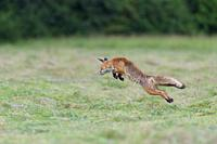 Jumping red fox (Vulpes vulpes) on mowed meadow, Hesse, Germany, Europe.