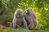 Two olive baboons (Papio anubis) mutual grooming, Masai Mara National Reserve, Kenya, East Africa.