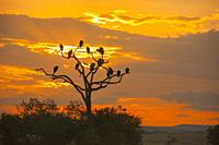 Vultures silhouetted in a dead tree at sunrise, Kenya Maasai Mara National Reserve, Kenya.